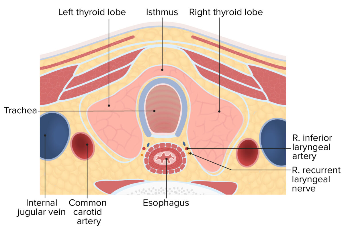 Cross-section of the neck displaying the lobules and isthmus of the thyroid gland