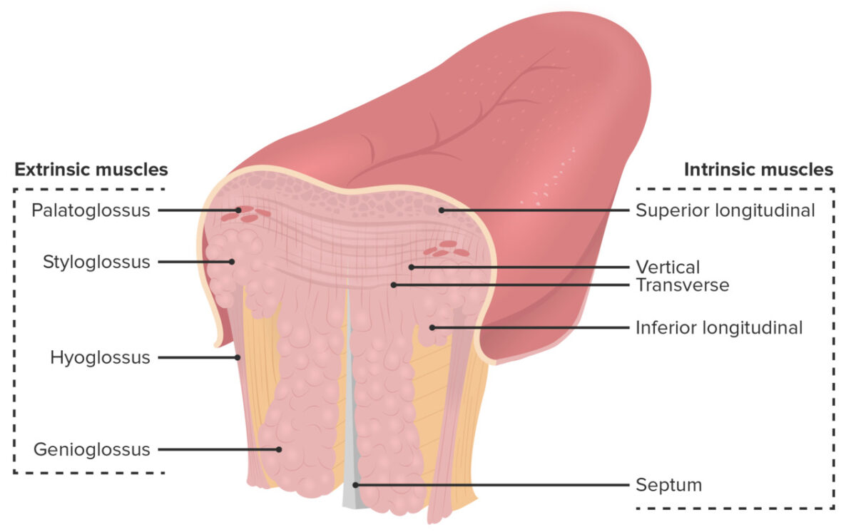 Cross-sectional drawing showing the various muscular layers of the tongue