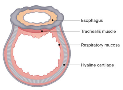 Cross sectional structure Trachea