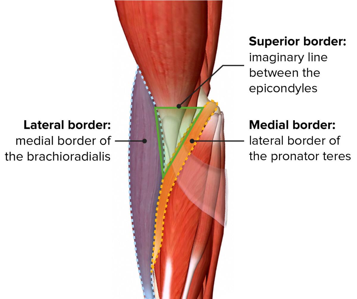 Cubital fossa boundaries