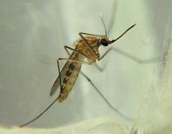 Culex mosquito St. Louis encephalitis virus Flaviviridae