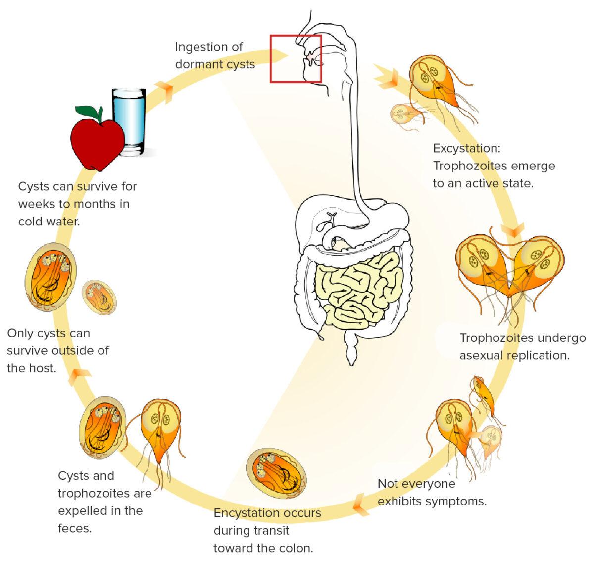 Cycle of Giardia lamblia