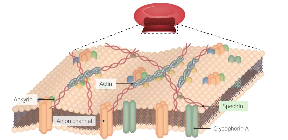 Cytoskeleton attached to plasma membrane - cell structure