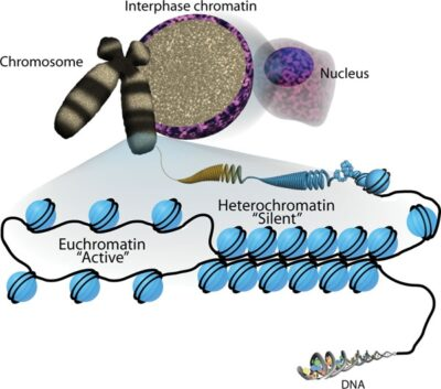DNA packaging and the two states of chromatin