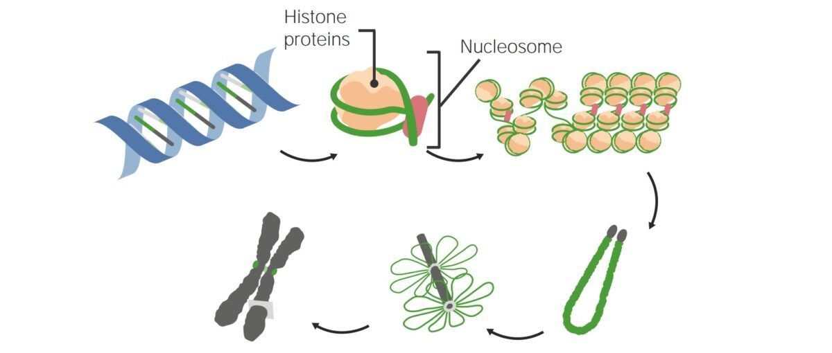 DNA packaging in nucleosomes