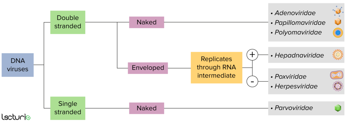 DNA virus classification flowchart