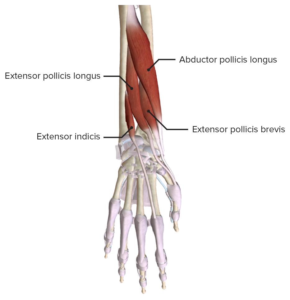 Deep extensor muscles of the hand