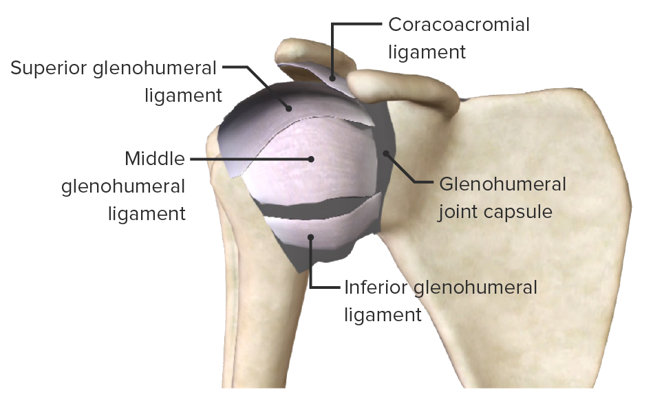 Deep ligaments of the glenohumeral joint