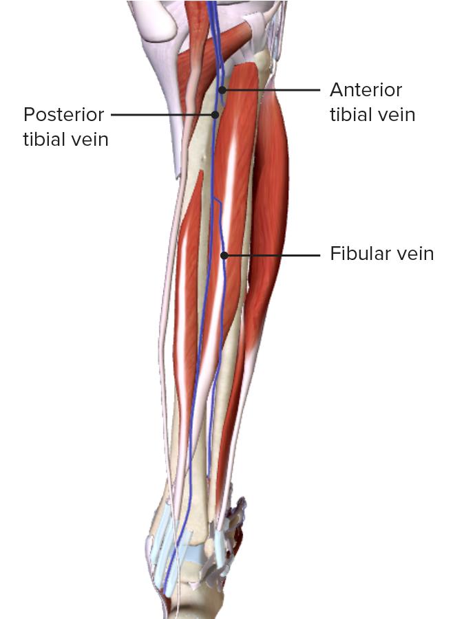 Deep veins of the leg