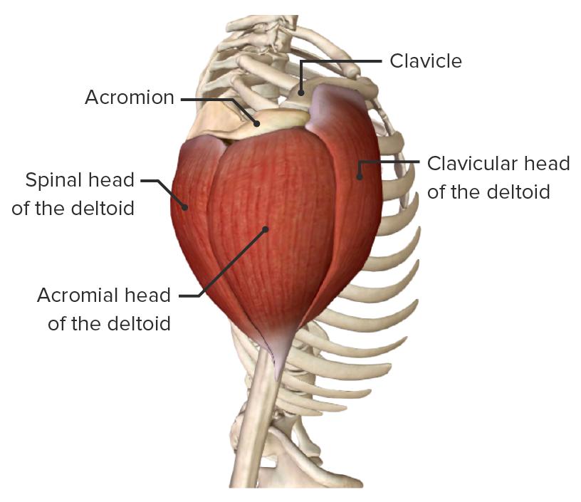 Deltoid muscle