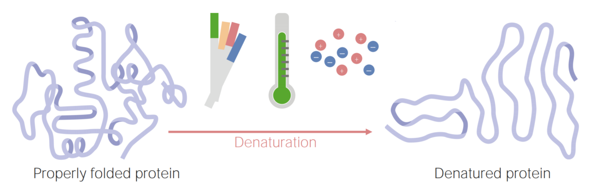 Denaturation of proteins