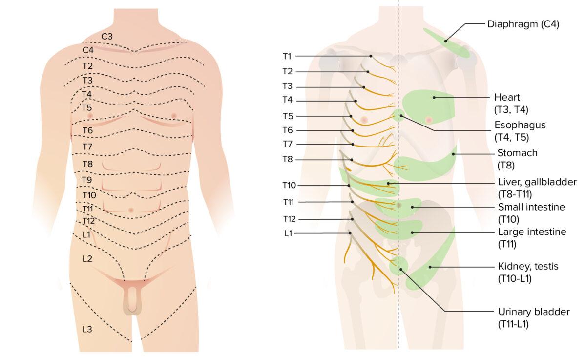 Dermatomes of the thorax, abdomen, and pelvis