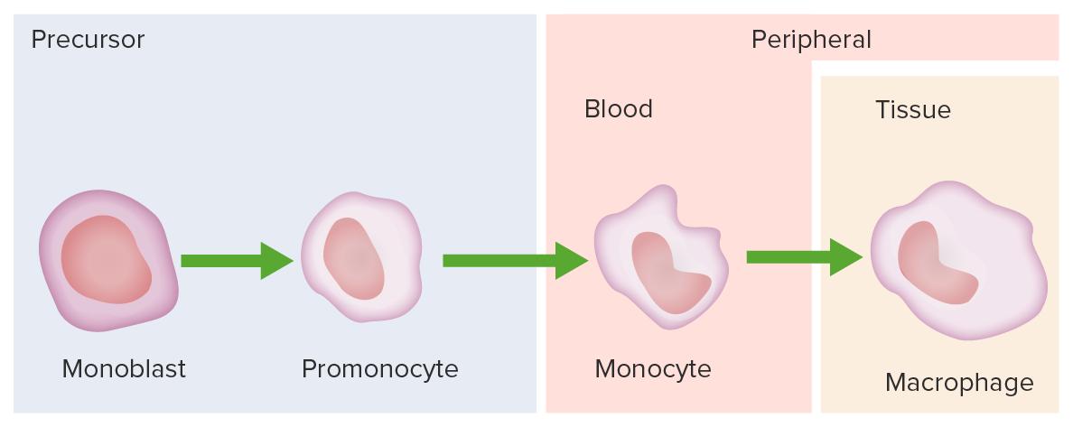 Development of monocyte