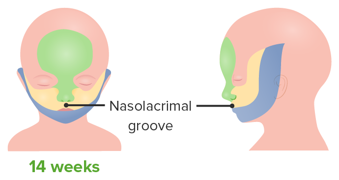 Development of the Face - 14 weeks