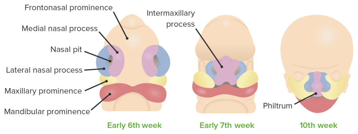 Development of the lip