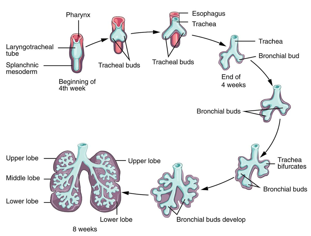 Development of the lungs