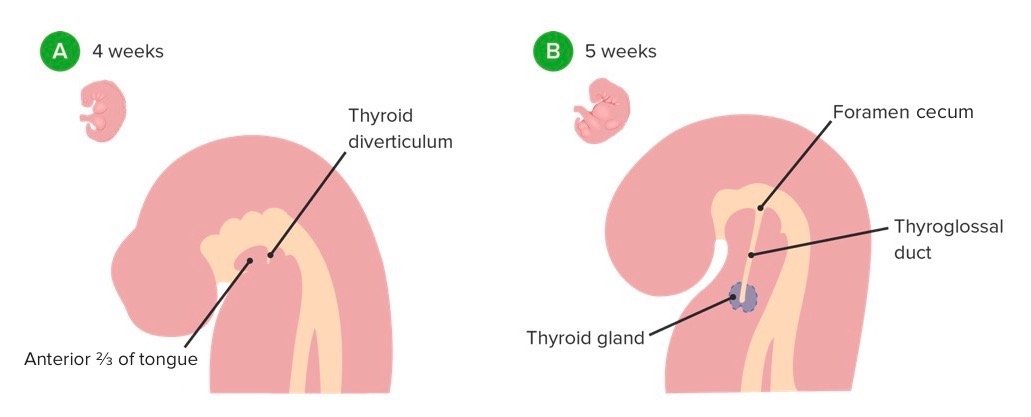 Development of the thyroid diverticulum