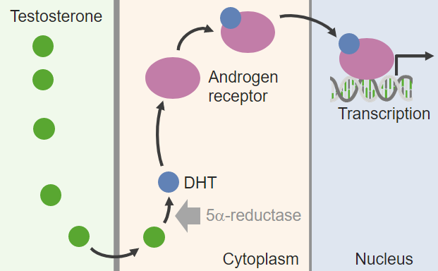 Diagram depicting effects of gonadal hormones