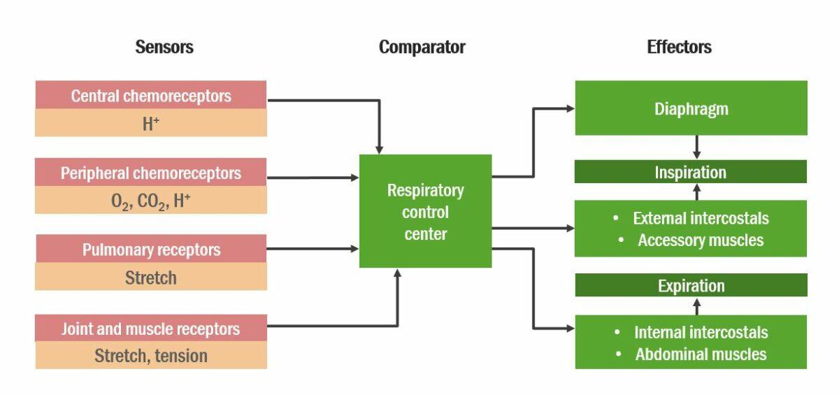 Diagram of Integration of stimuli Respiratory regulation