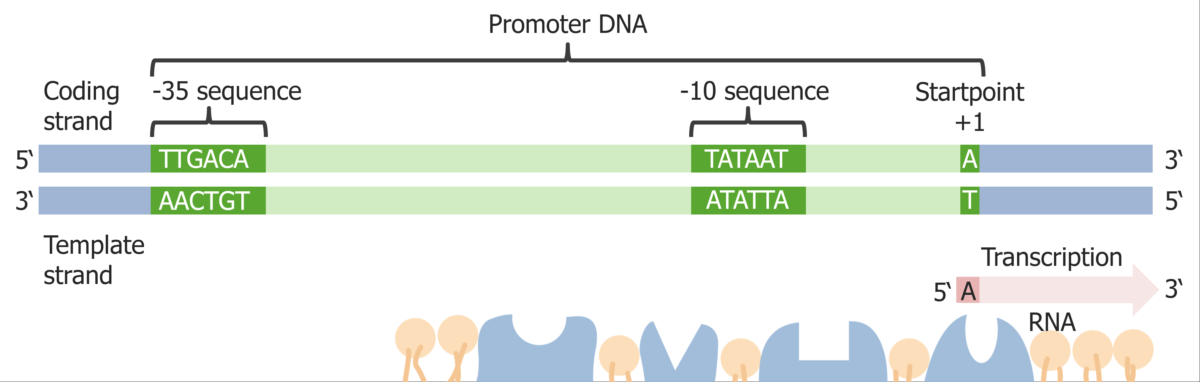 Diagram of a promoter sequence
