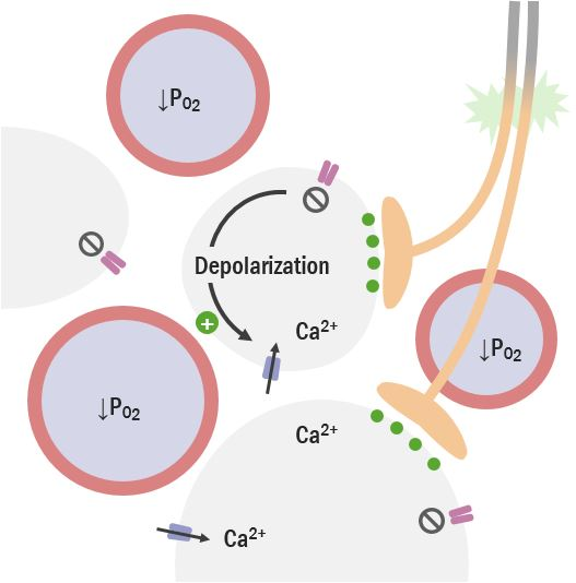 Diagram of peripheral chemoreceptors Respiratory regulation