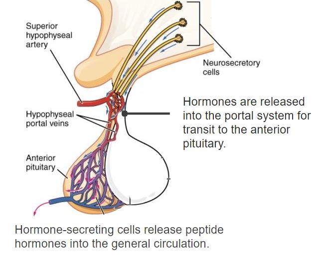 Diagram of the hypothalamohypophysial portal system