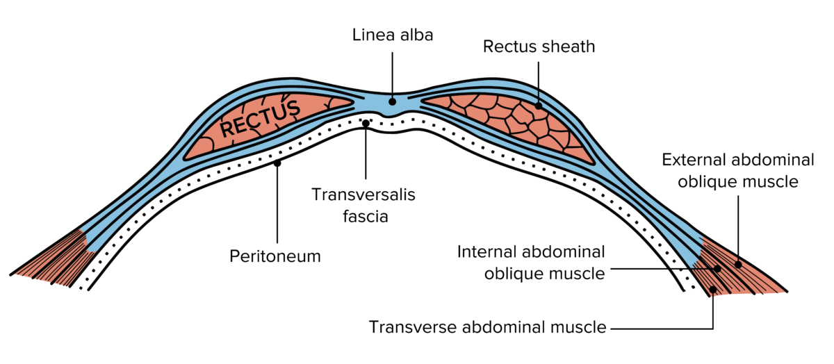Diagram of the layers of abdominal wall