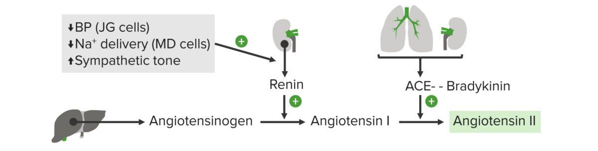 Diagram of the RAAS