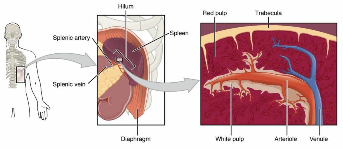 Diagram of the spleen