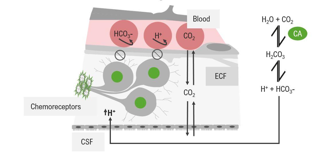 Diagram of the stimulation of central chemoreceptors Respiratory regulation