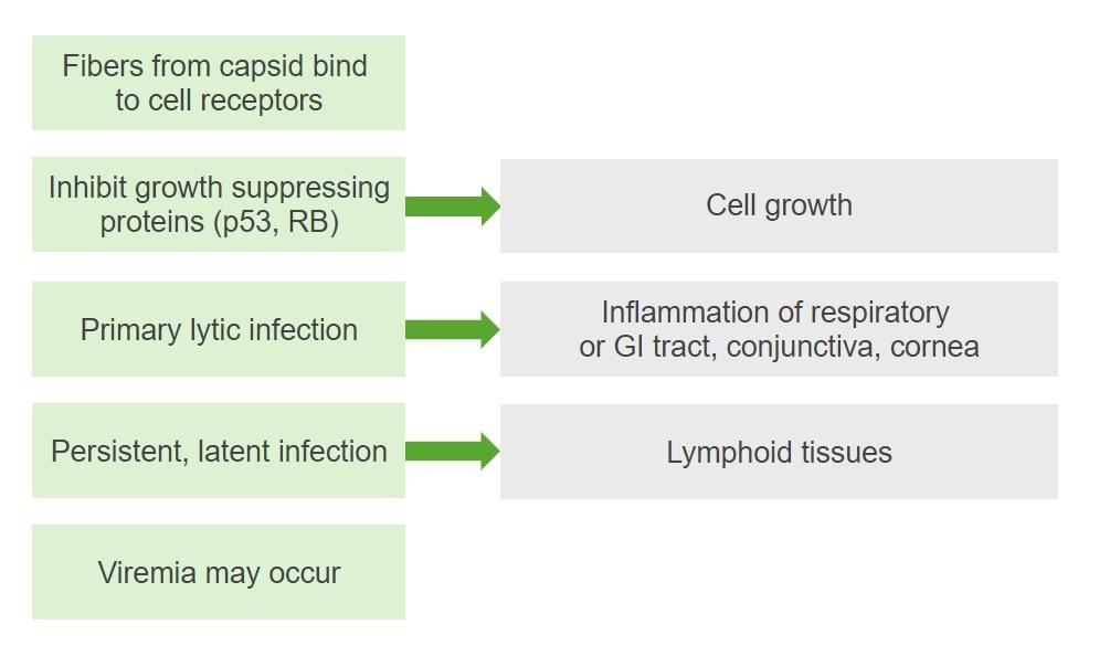 Diagram pathogenesis of adenovirus infection
