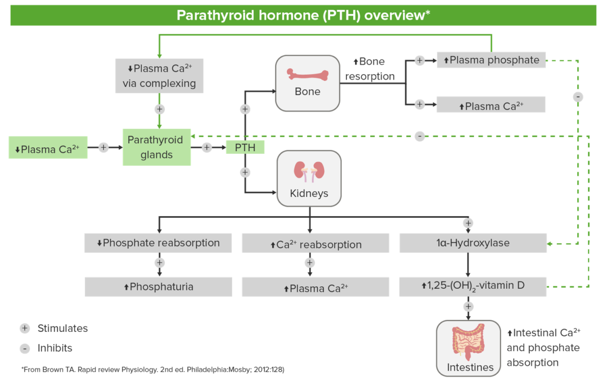 Diagram showcasing the role of PTH in the regulation of calcium levels
