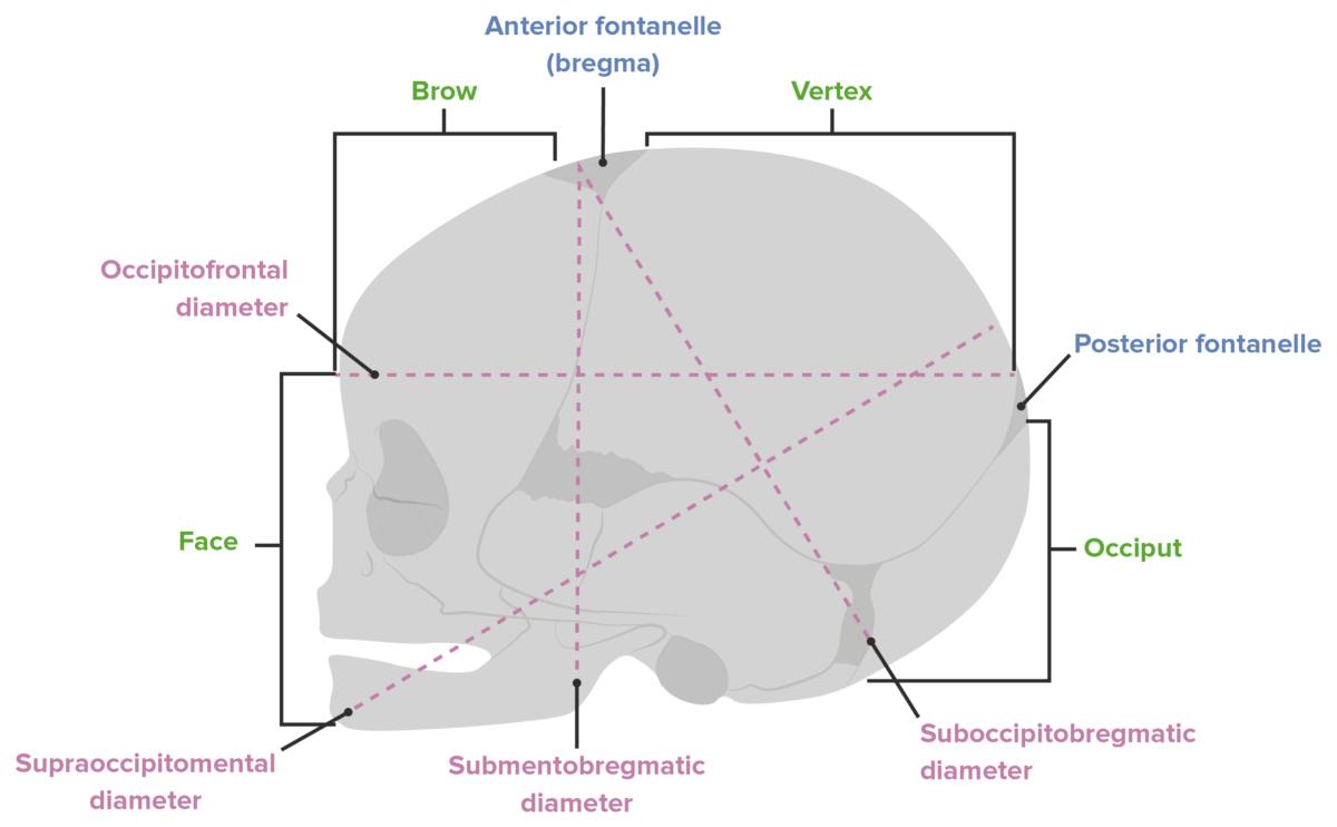 Diameters of the fetal head