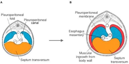 Diaphragm morphogenesis