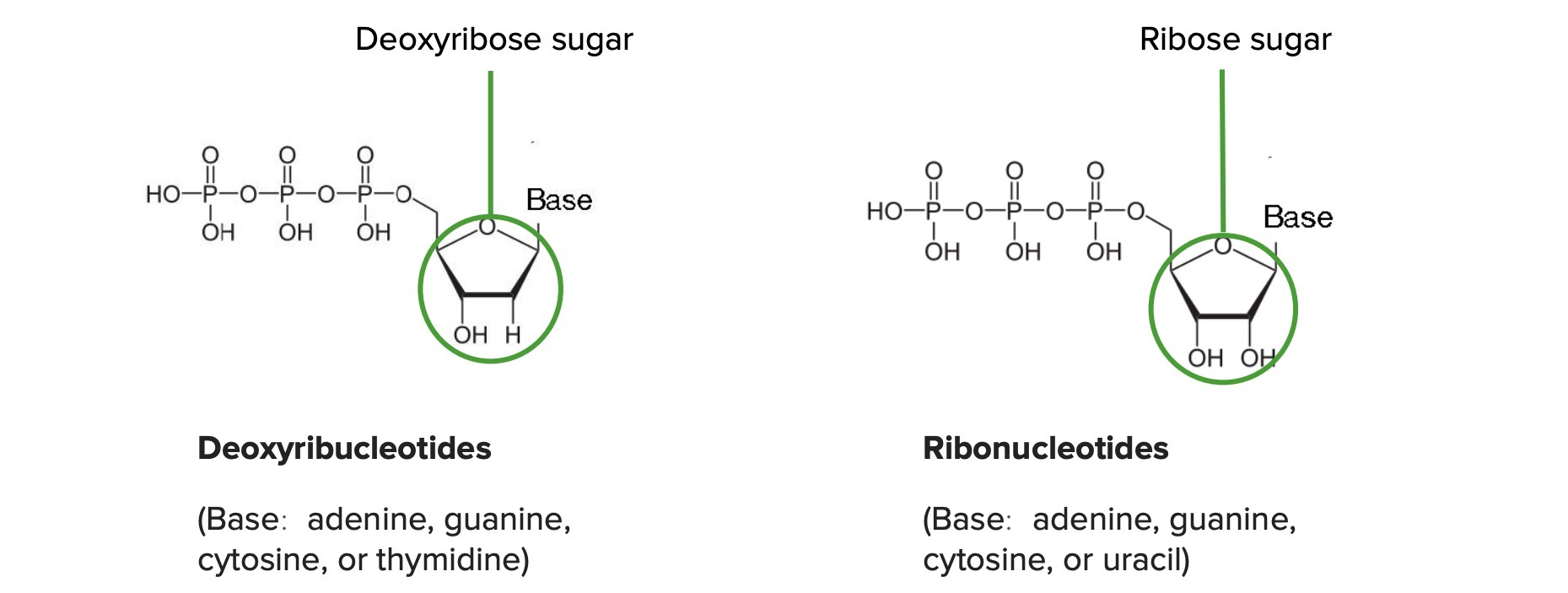 Difference between deoxyribonucleotides and ribonucleotides