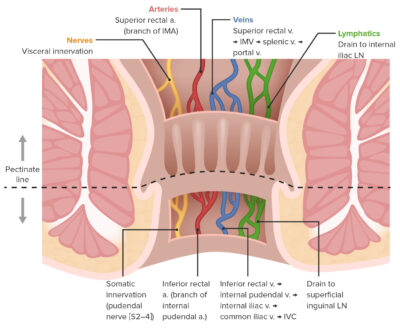 Differences in anal neurovasculature above and below the pectinate line