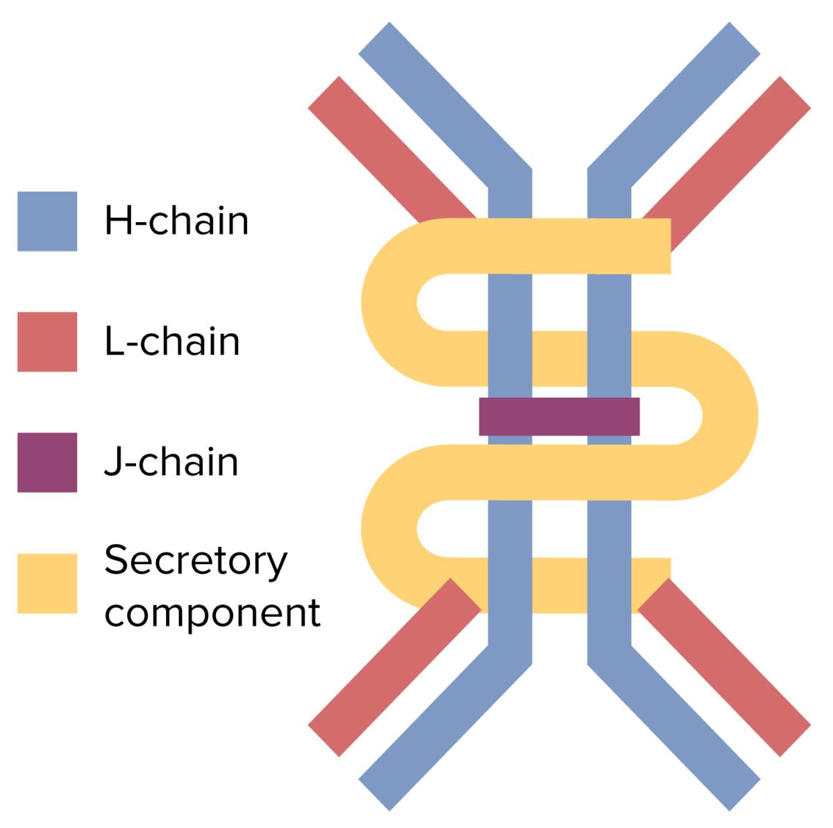 Dimeric structure of IgA antibody