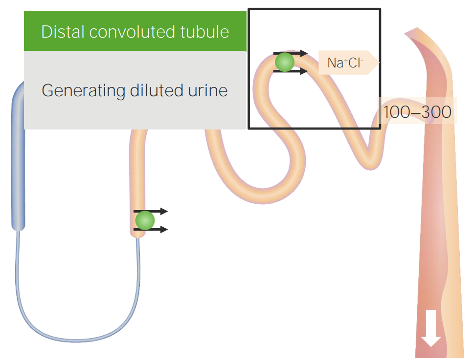 Distal convoluted tubule (DCT) reabsorption