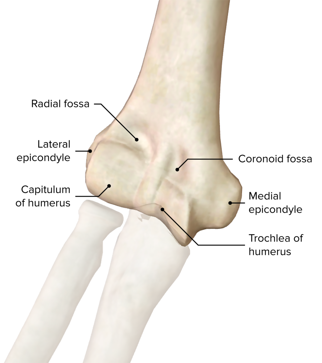 Distal-end-of-the-humerus