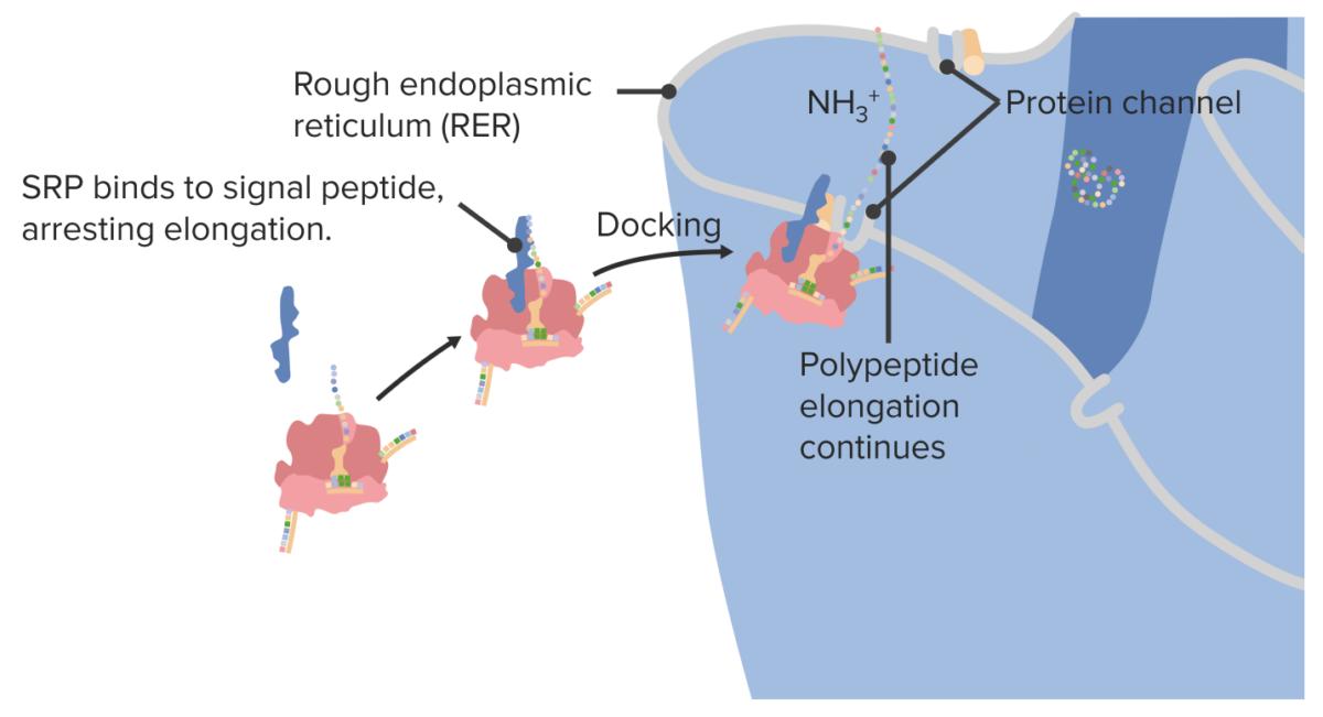 Docking a ribosome on the rough endoplasmic reticulum