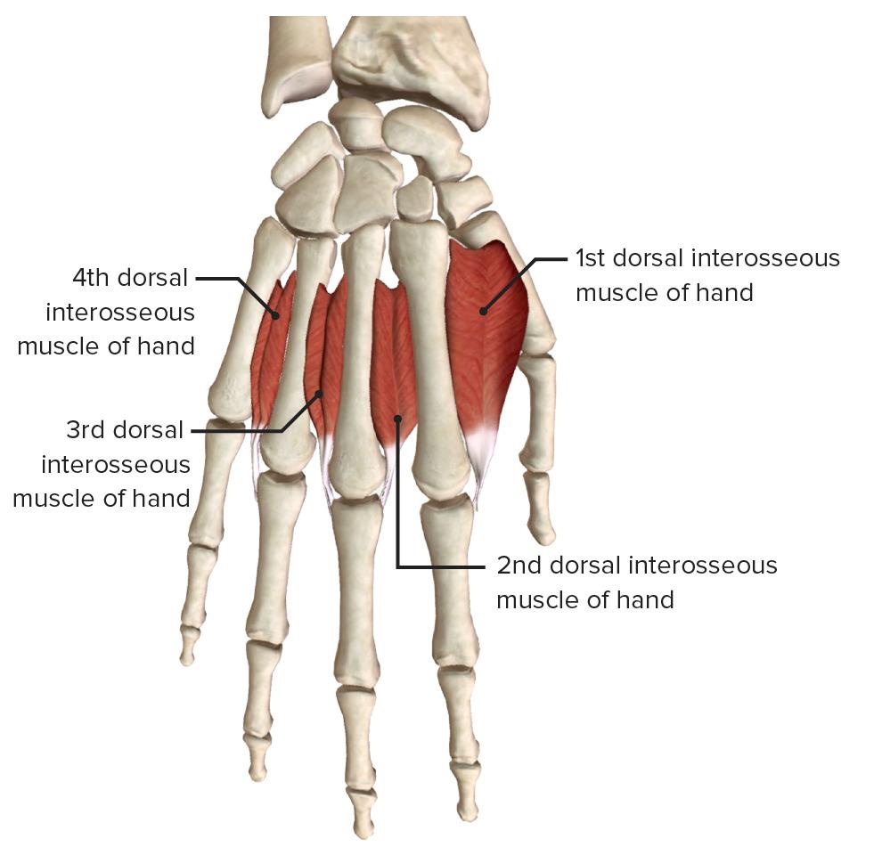 Dorsal interossei (4 muscles) 2