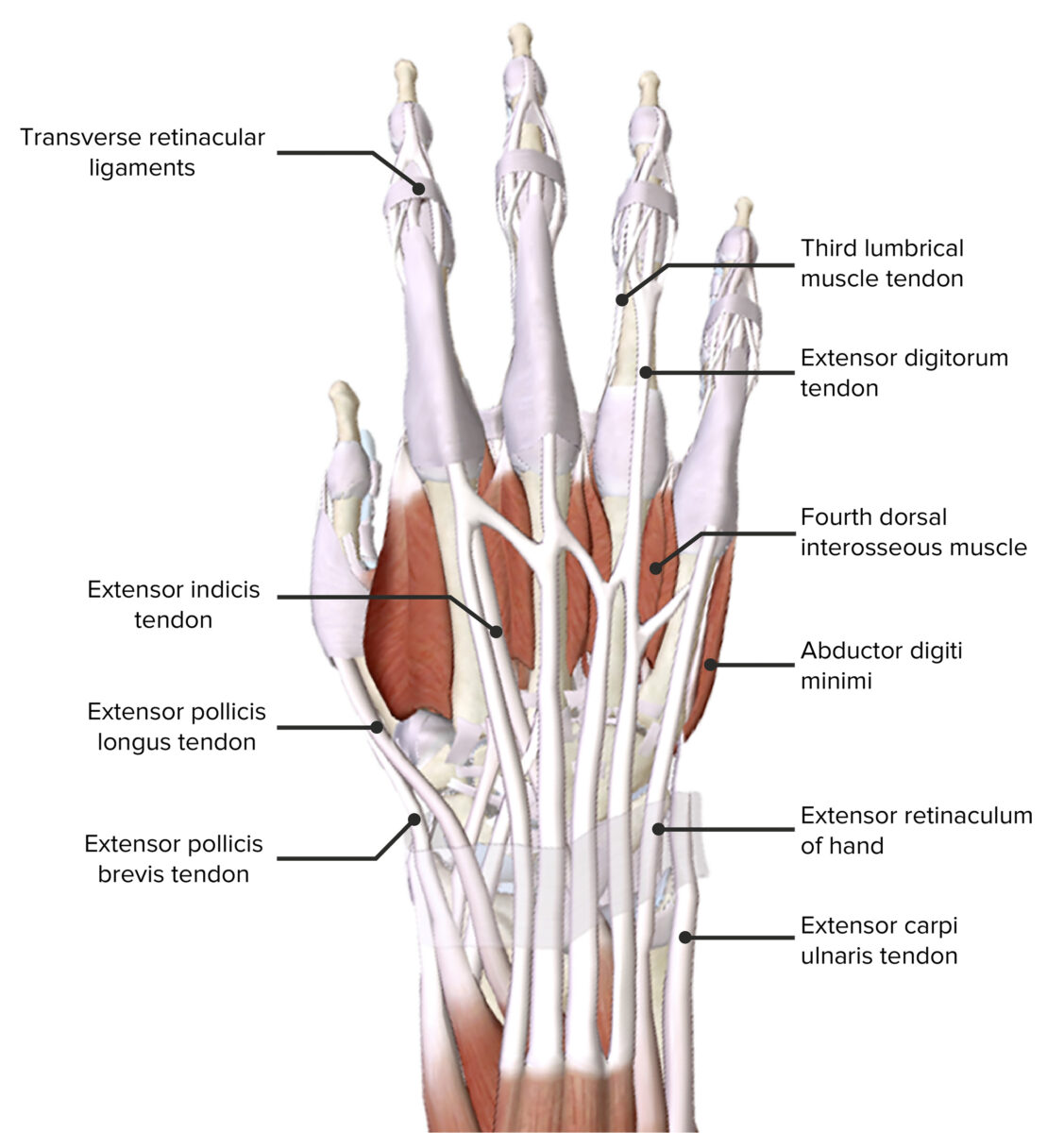 Dorsal_view_of_the_hand(with _muscles)