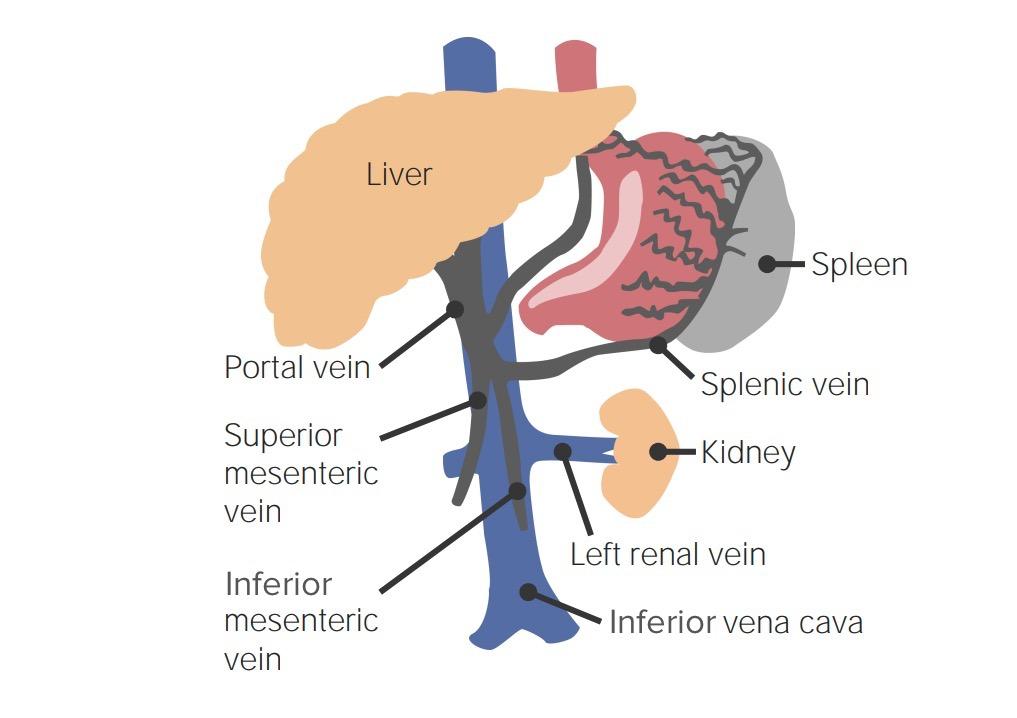 Drainage hepatic portal