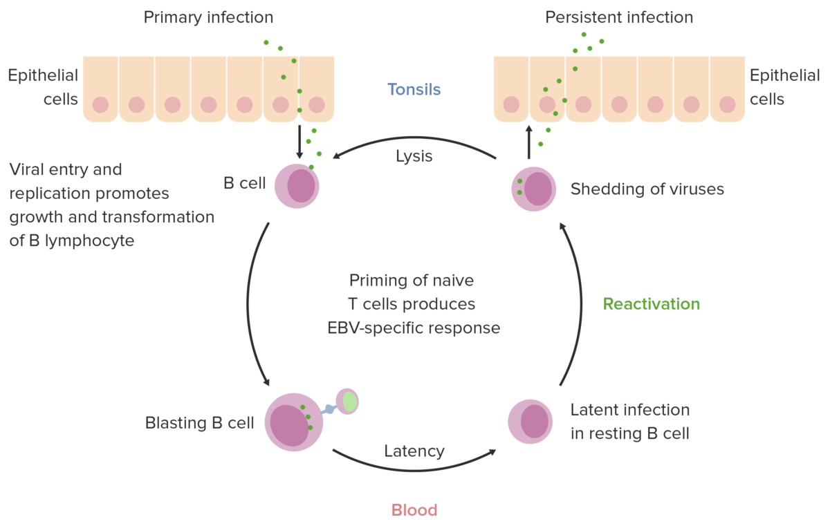 EBV infection cycle