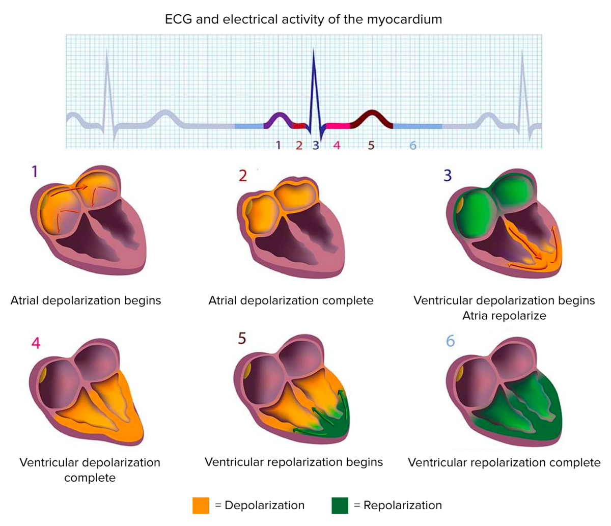 ECG and electrical activity of the myocardium
