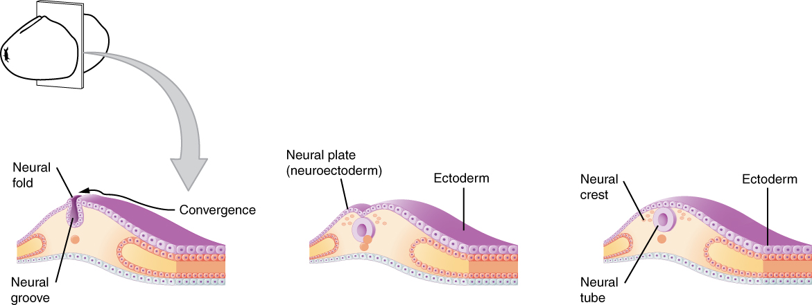 Early embryonic development of the nervous system