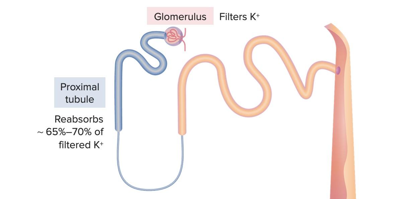 Early nephron segments