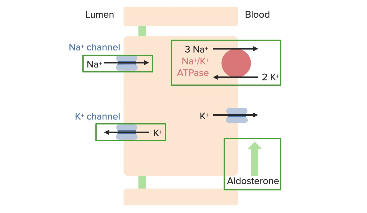 Effects of aldosterone and increasing plasma potassium concentration on regulatory transport proteins in the principal cells