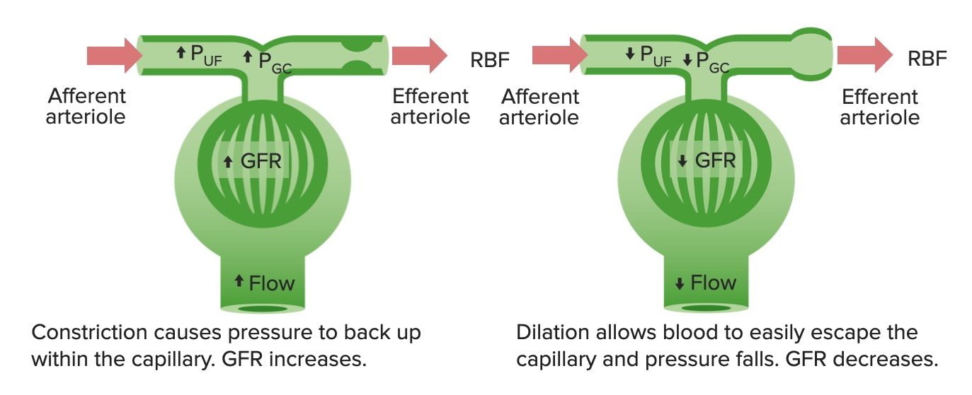 Effects of constriction and dilation of the afferent arteriole