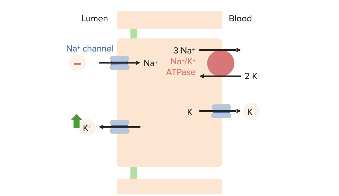 Effects of distal sodium delivery on potassium excretion